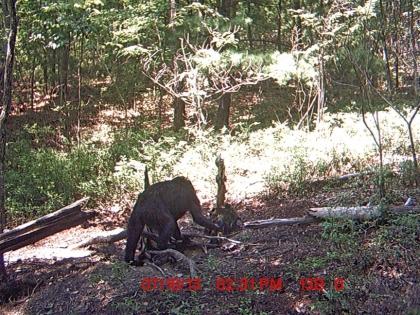 Bigfoot in Virginia - Colonial Ghosts